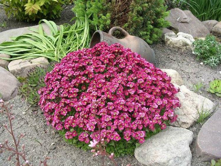 работа садовые цветы почвопокровные фото с названиями каша