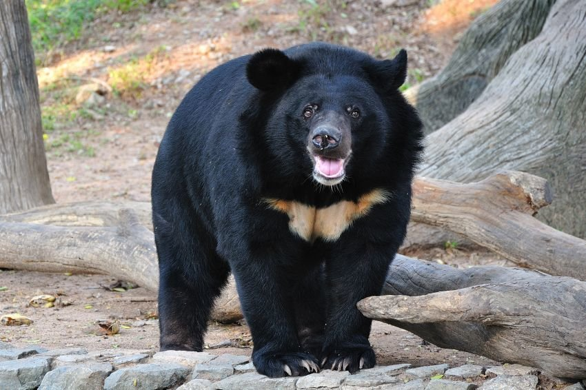 Asiatic black bear pictures girl underwear picture