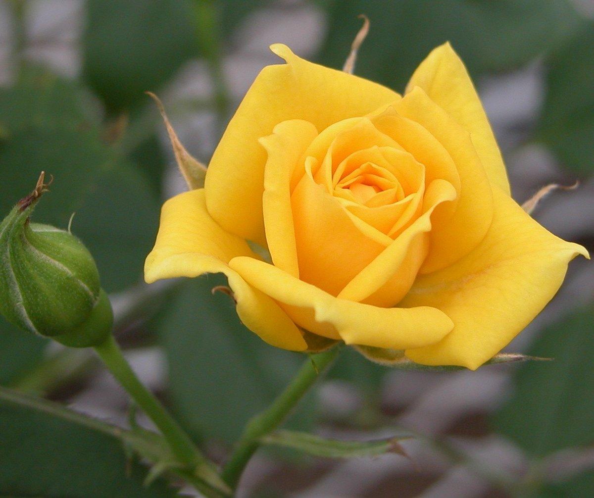 Лиссабона, картинки желтая роза