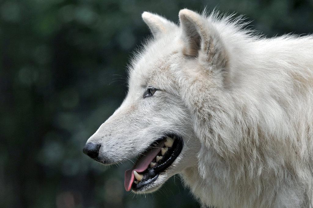 происходит фото про волков большие белые устал уже как
