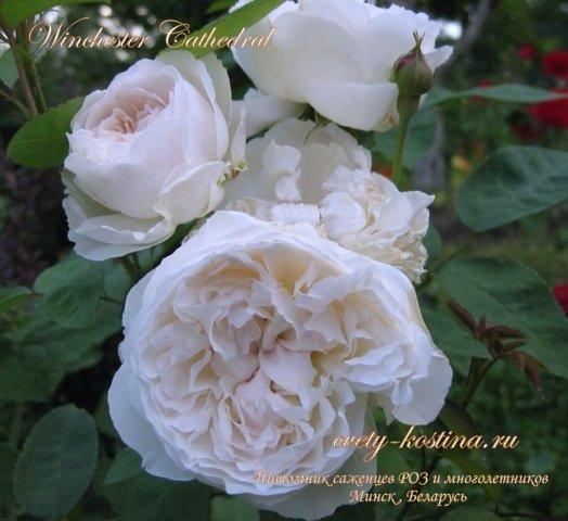 Пионовидные розы купить саженцы почтой цветы хоста фото цена купить по почте