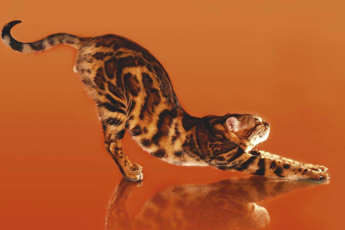 Бенгальские коты поражают нестандартной расцветкой и размерами. Лапы у кошек слегка удлиненные, а тело немного Ñудощавое