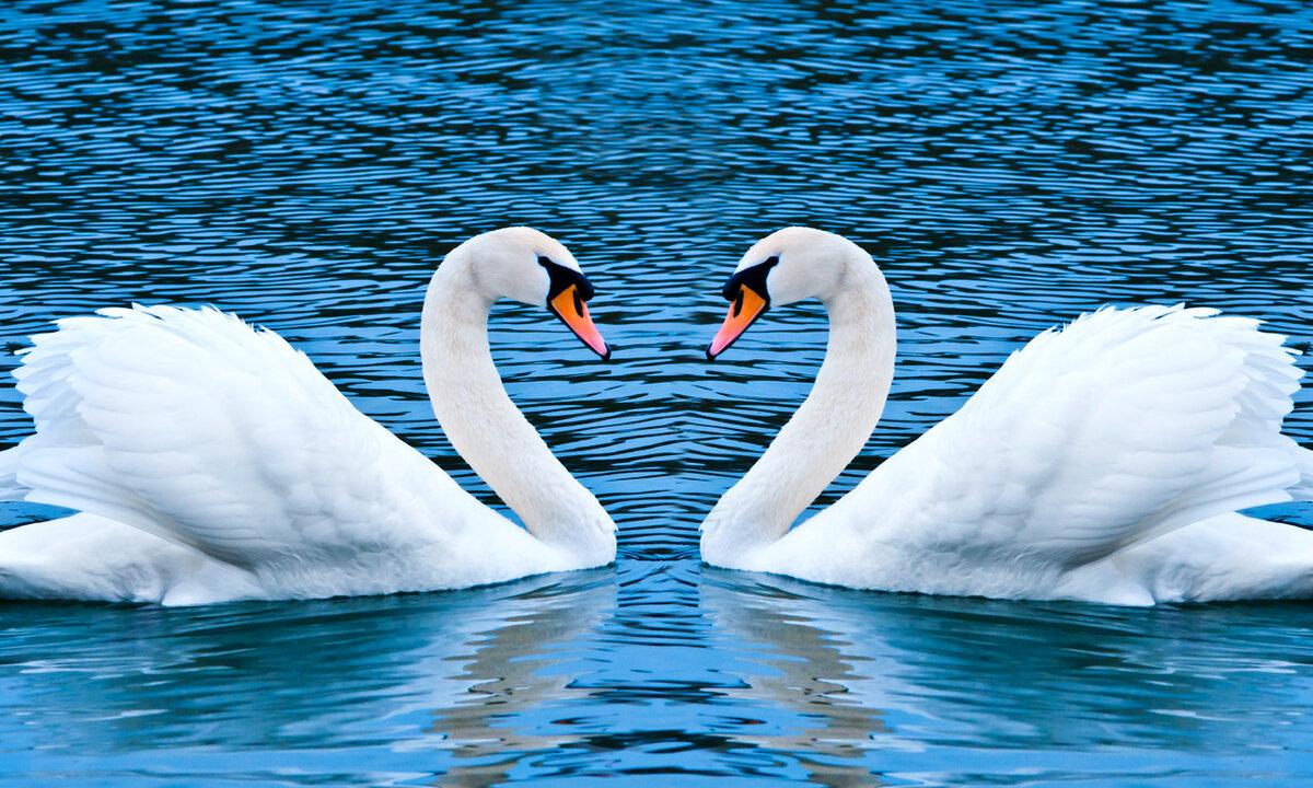 Картинки лебеди сердечко