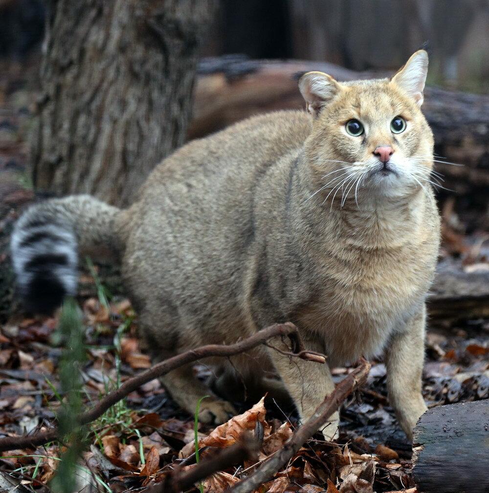 показать фото камышовой кошки и ее рост обещал, рассказываю