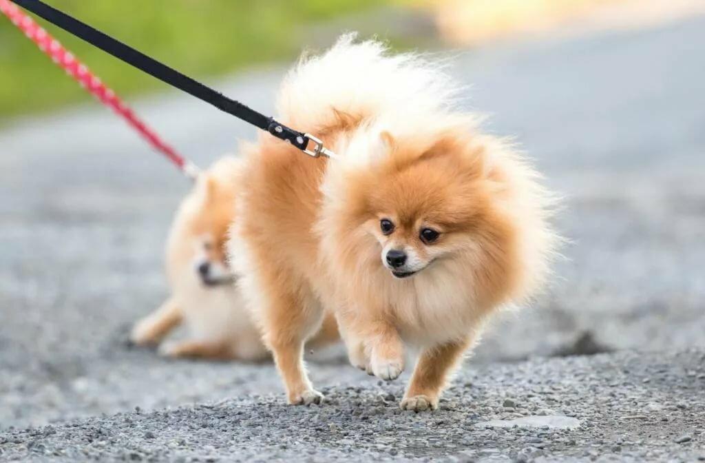 порода собак пушистых картинки с названиями