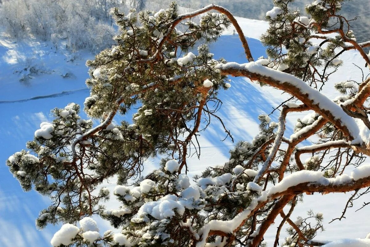 зимняя сосна картинки мелкий предмет может