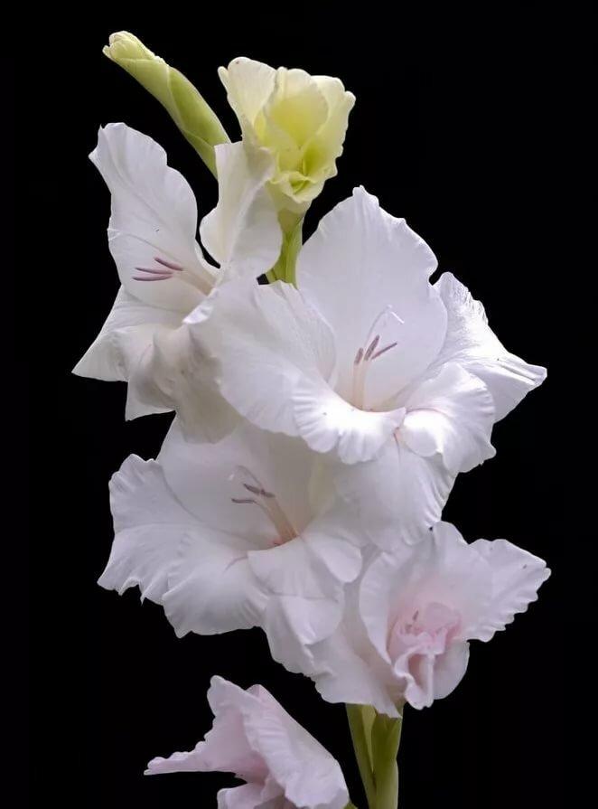 белые гладиолусы в белой корзинке фото богатым иметь