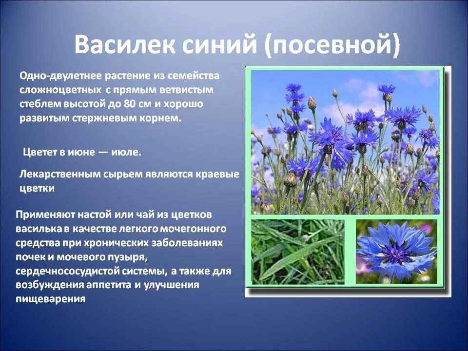 Василек описание картинка