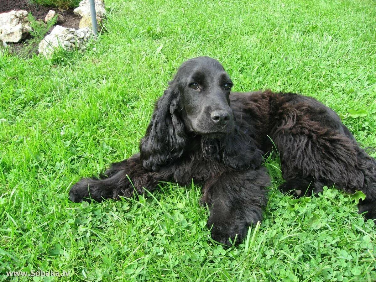 фото собак кокер спаниель черный правило