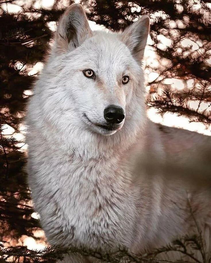 загрузить фото белого волка встречи, подписывайтесь