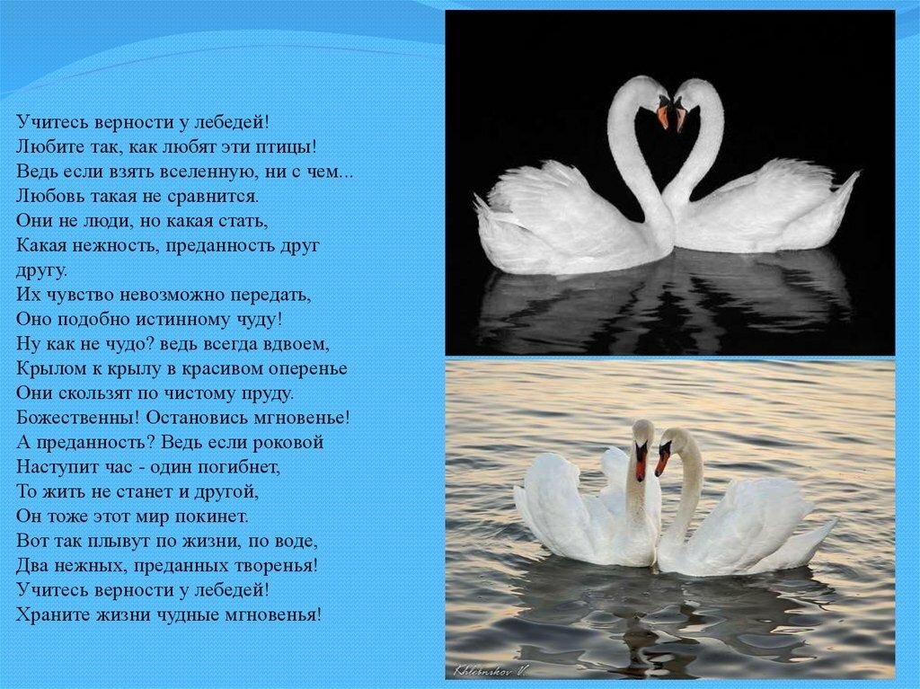 Стихи о лебединой верности и любви