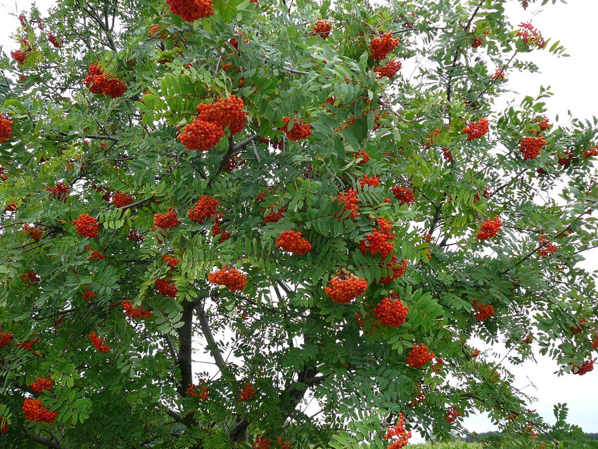 Дерево рябина фото картинки