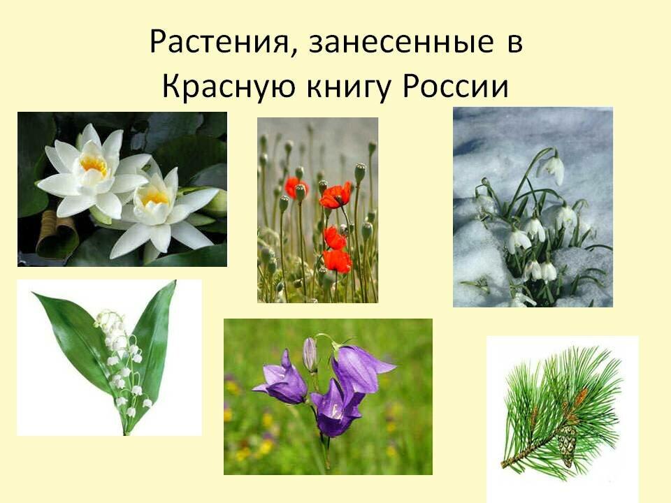 Растения красной книги россии картинки с названием