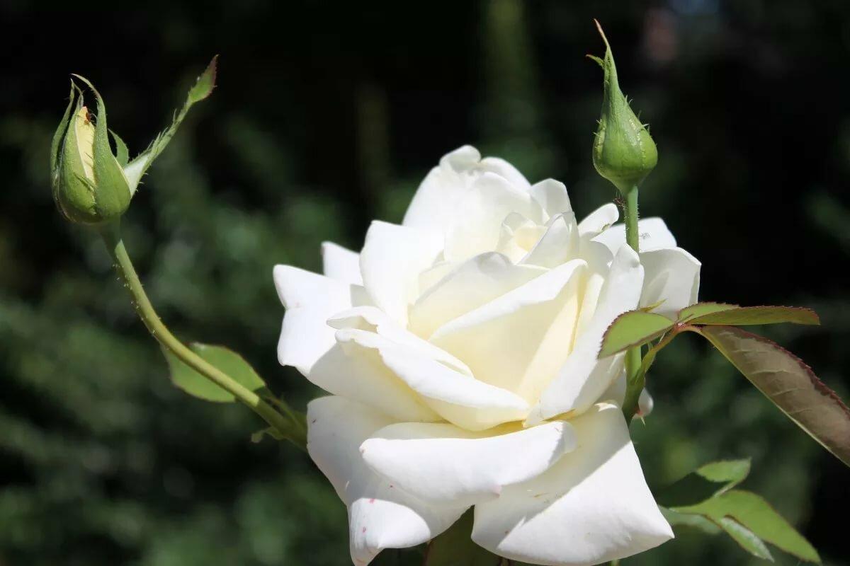 случае изысканная роза картинки связи этим