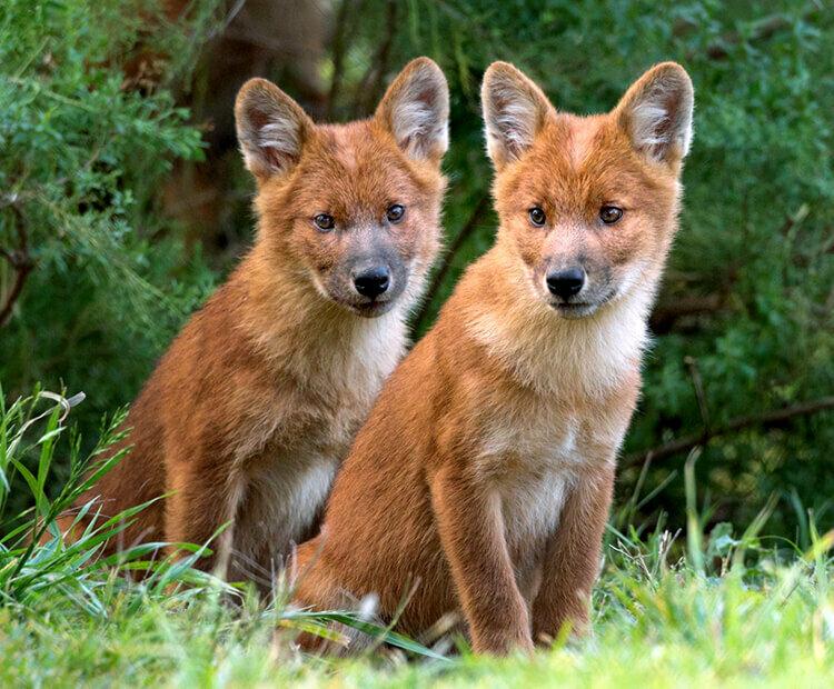Красный волк красная книга фото стаи