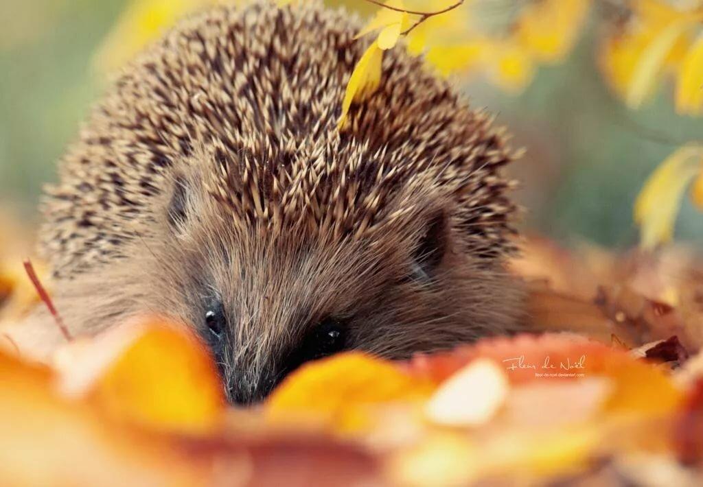 Картинка ежики осенью