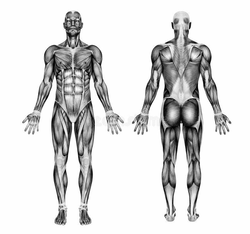 оглянуться, мышцы человека спереди сзади картинки выбрать, хранить
