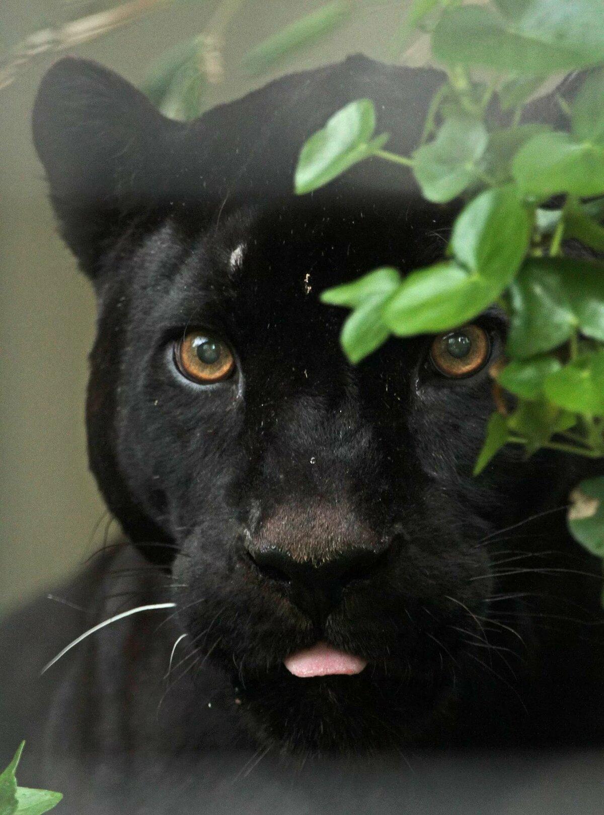 Картинки черных котов пантер