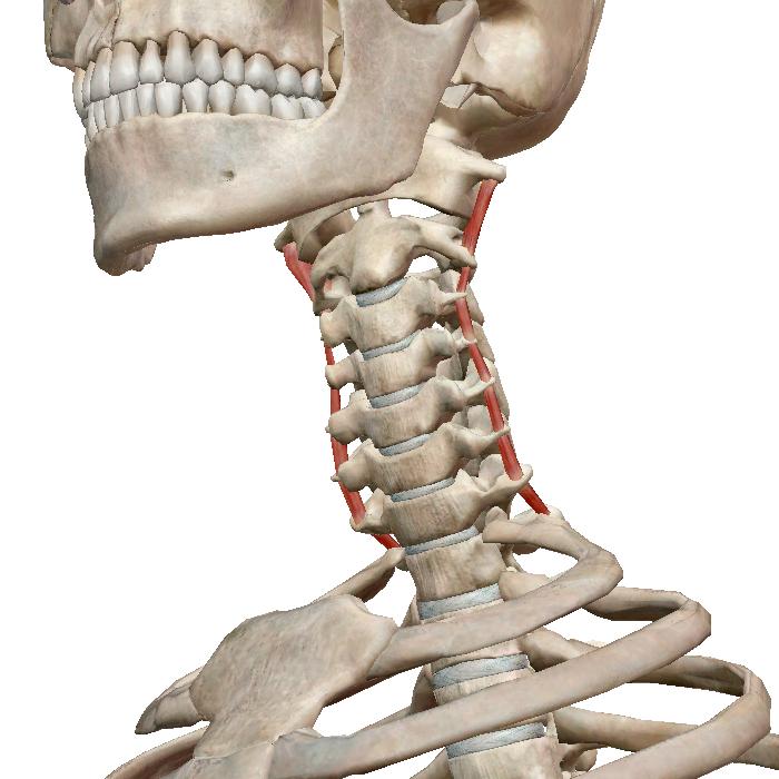 которую можно шейный отдел позвоночника картинка со всеми мышцами орнаменте