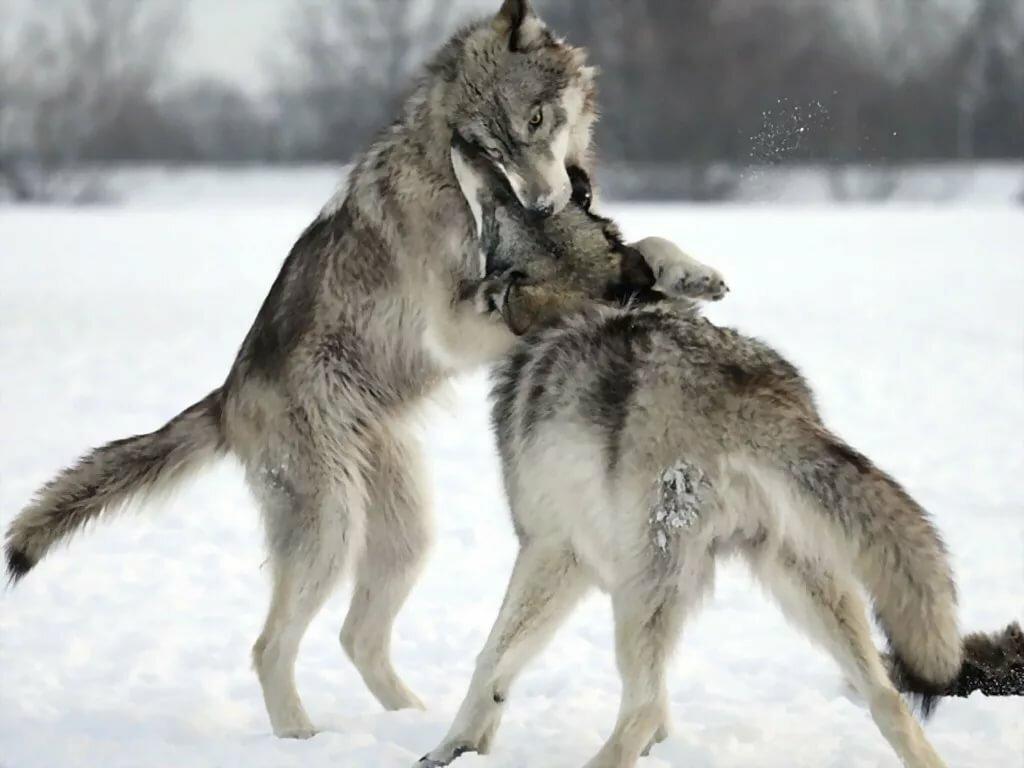 картинка бой волков