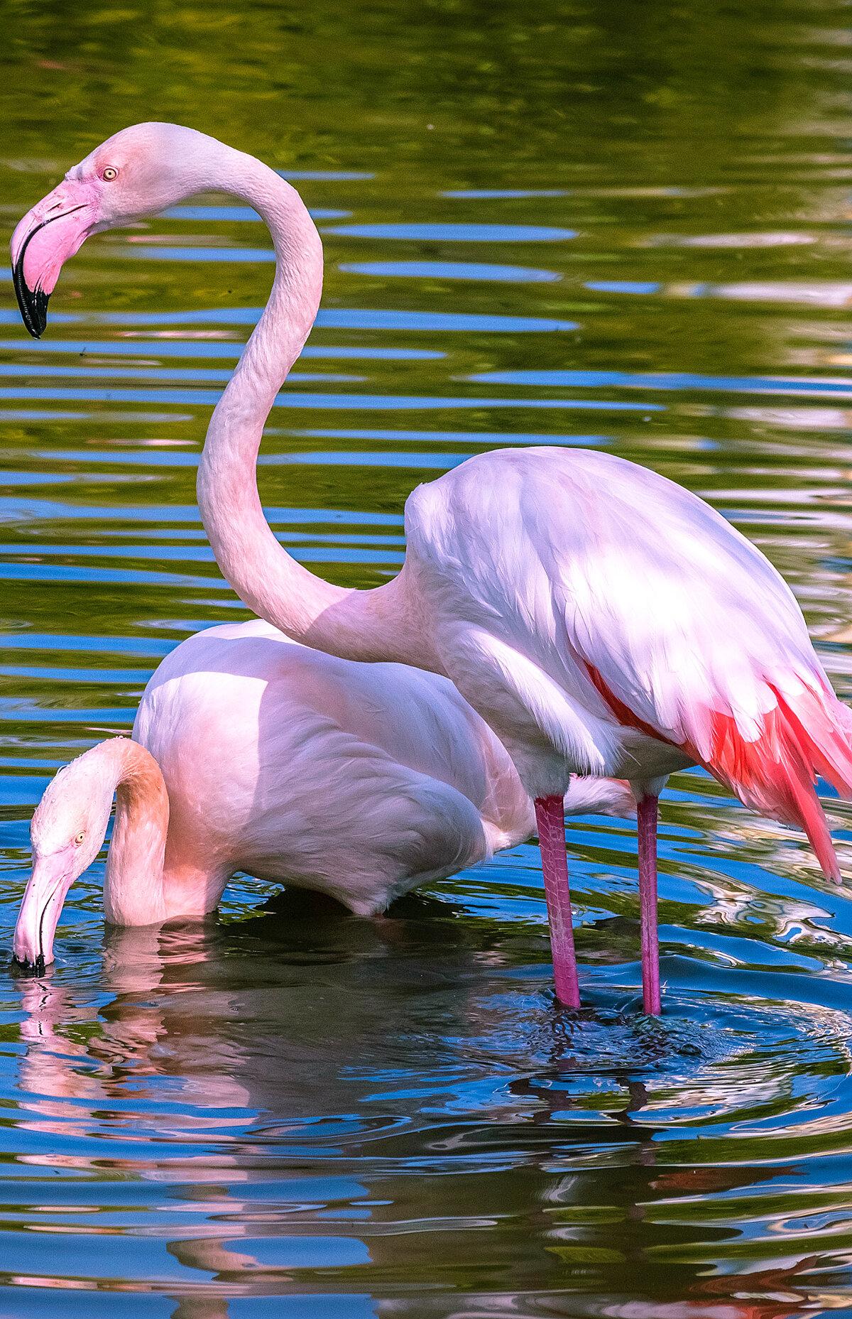 Картинки фламинго