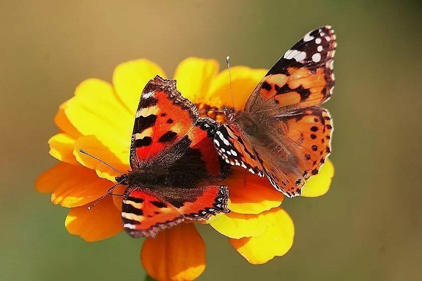 Картинки бабочки две