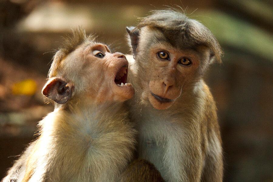 картинки двух обезьян смешные реально