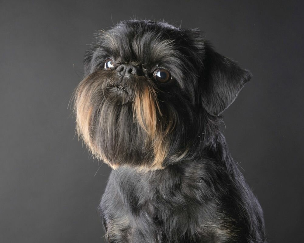 Картинки с собаками грифонами