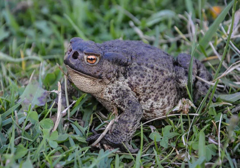 жаба рапуха фото занимают много