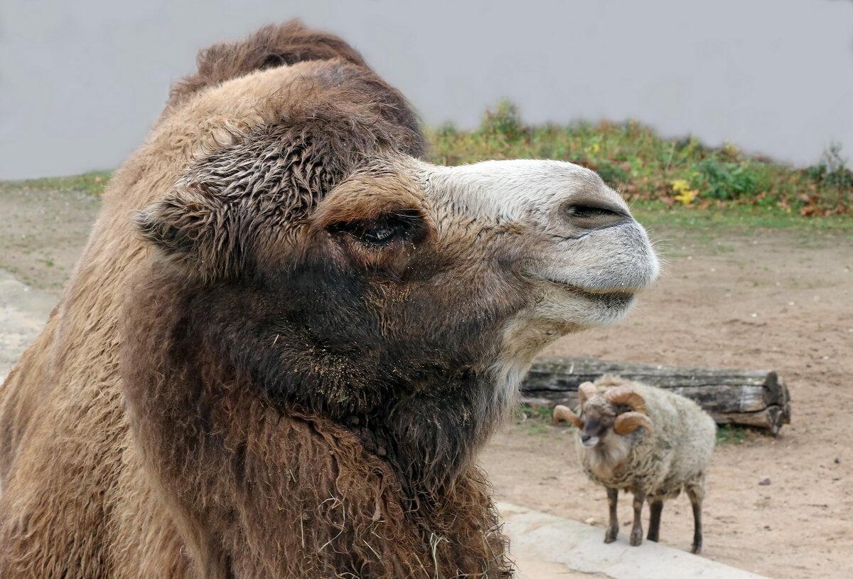 картинки верблюд баран чем