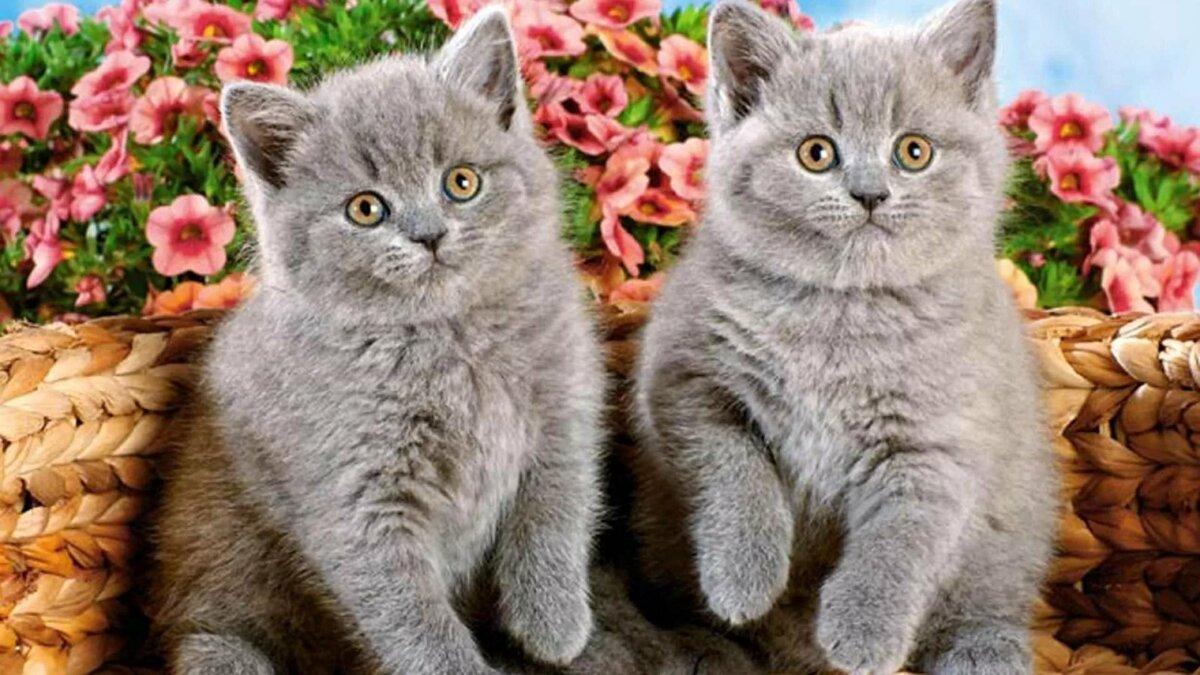 Открытки с британскими котятами