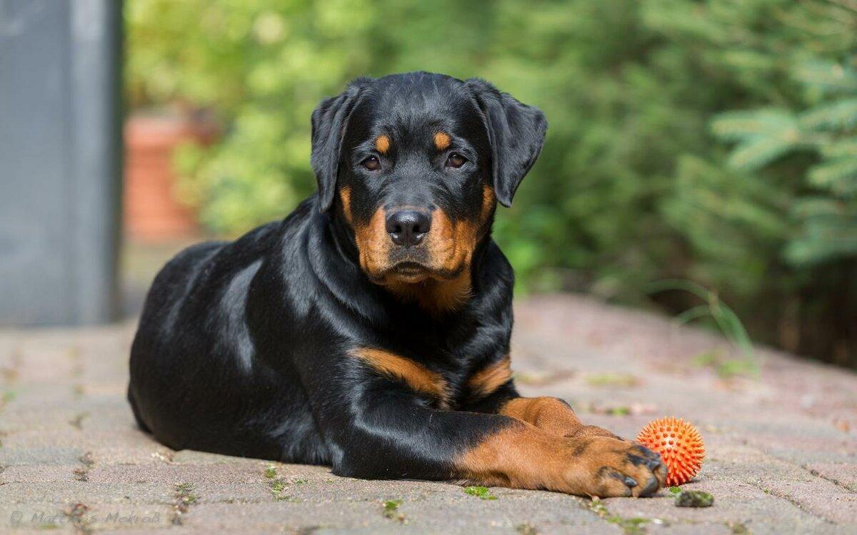 собаки порода ротвейлер картинки тех пор