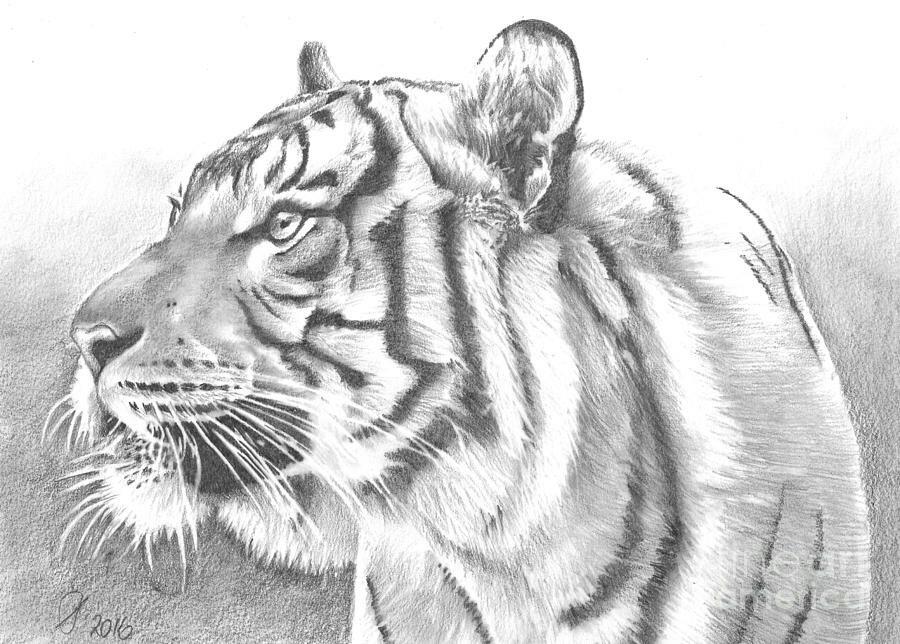 Рисунки простым карандашом льва пантеры тигра нарисованные художником