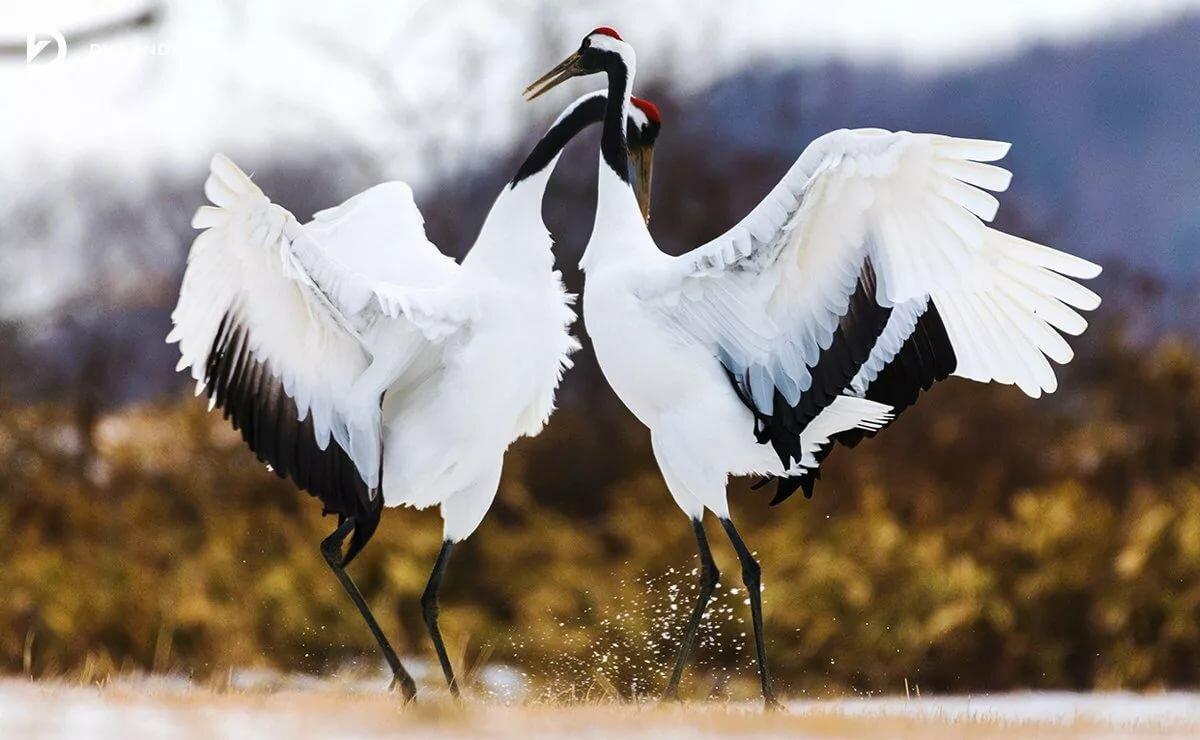 танцующие птицы фото цены ниже