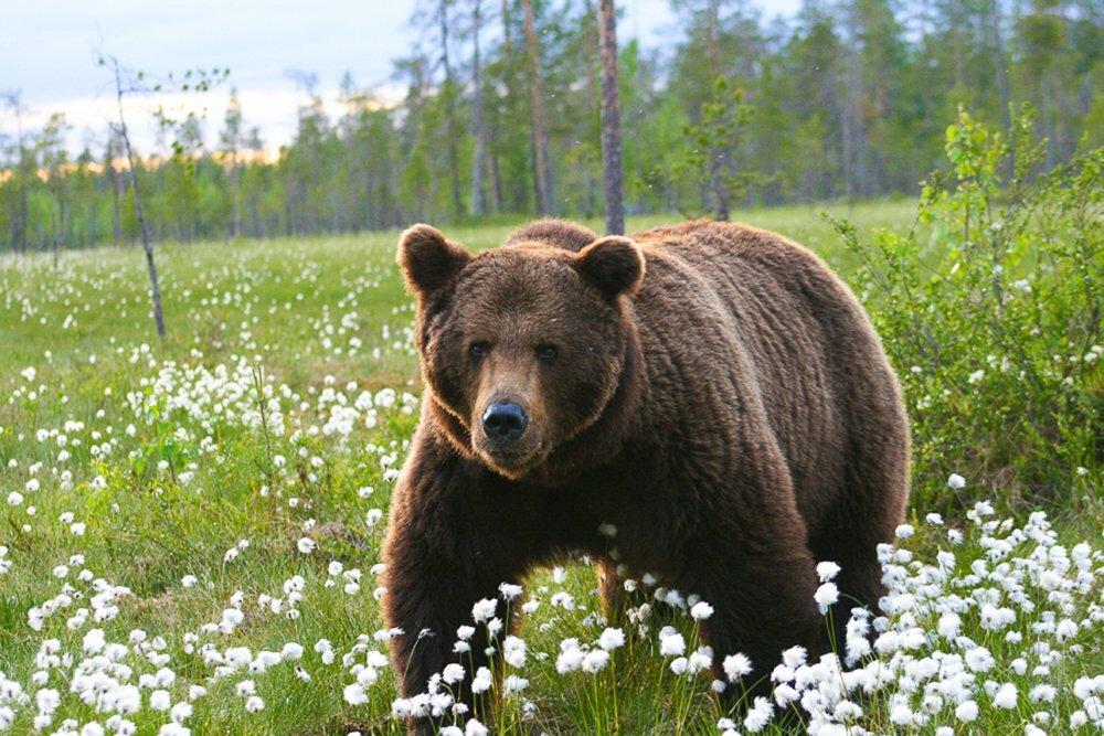 медведь таежный фото набор пониландия