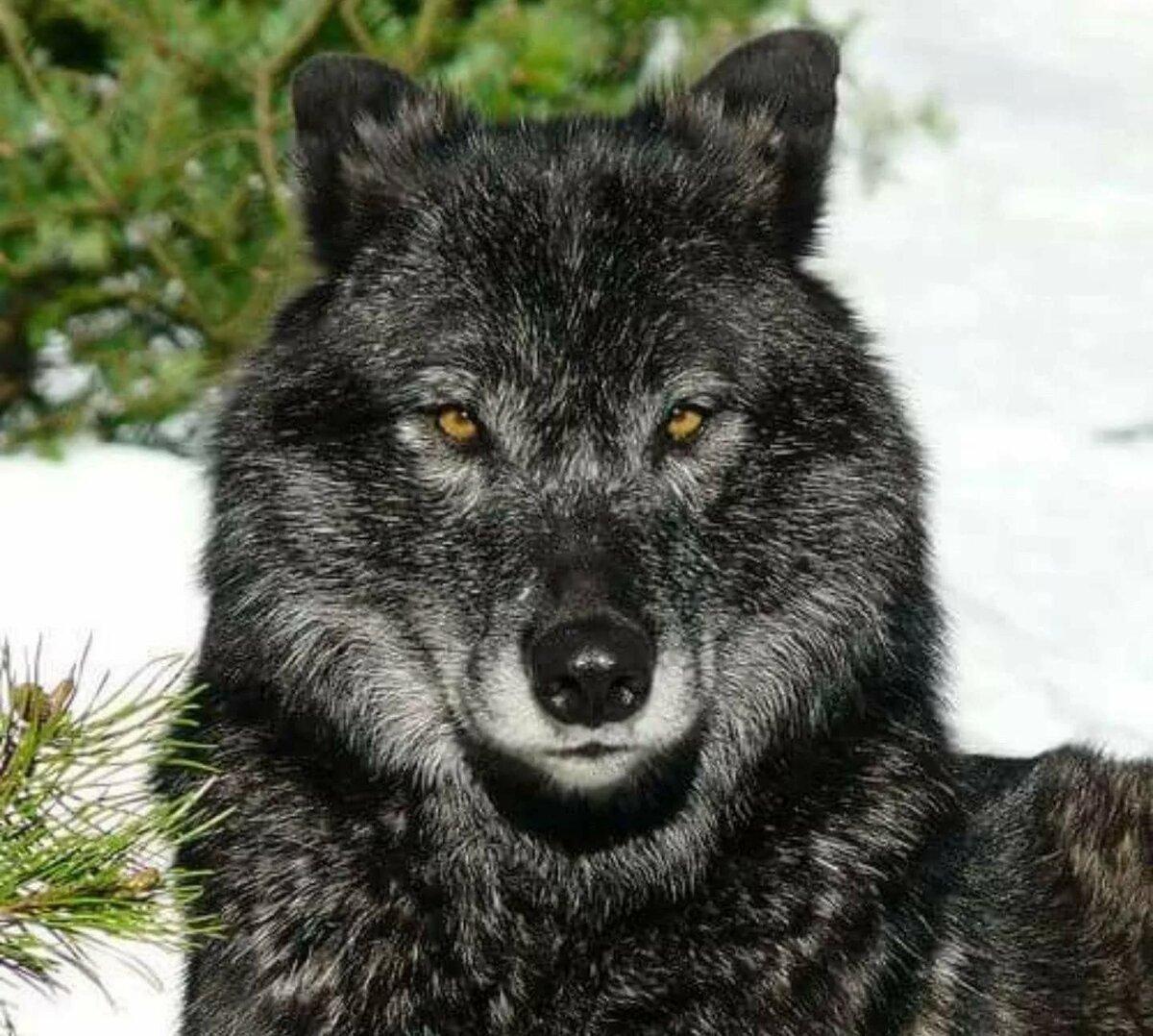кто-то канадский волк фото участвуют жизни предприятия