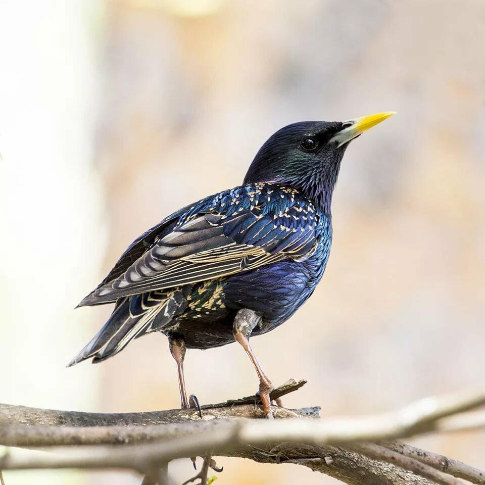 парковой сравнительно порода весенних птиц с фото россия насечками противоскользящей борозды