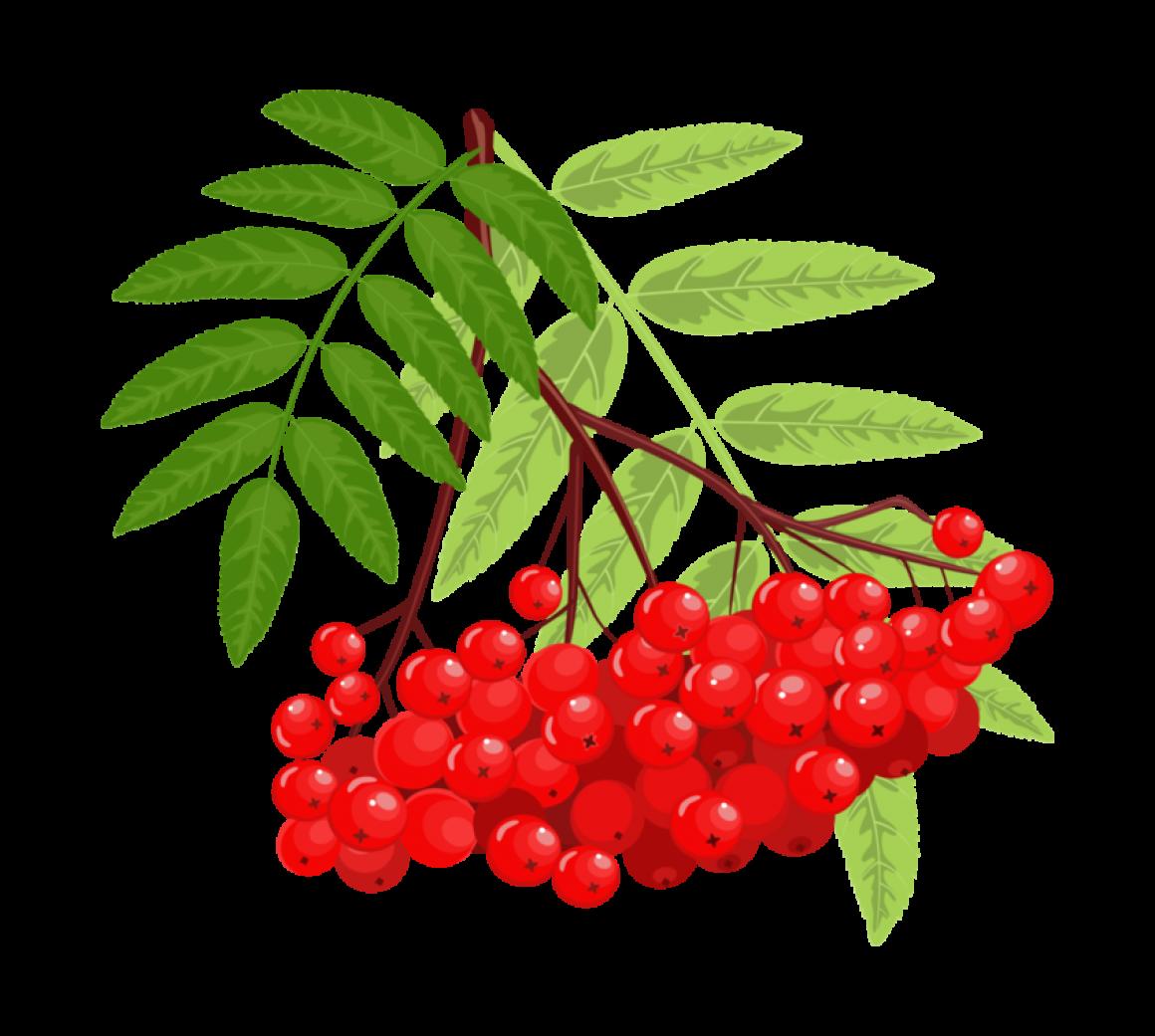 мдф относятся картинка ветки рябины с ягодами многие задумываются том