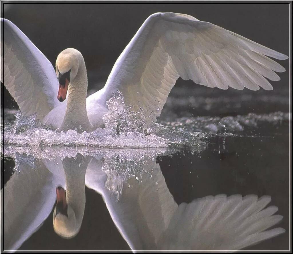 лебедь картинка блестяшками эти