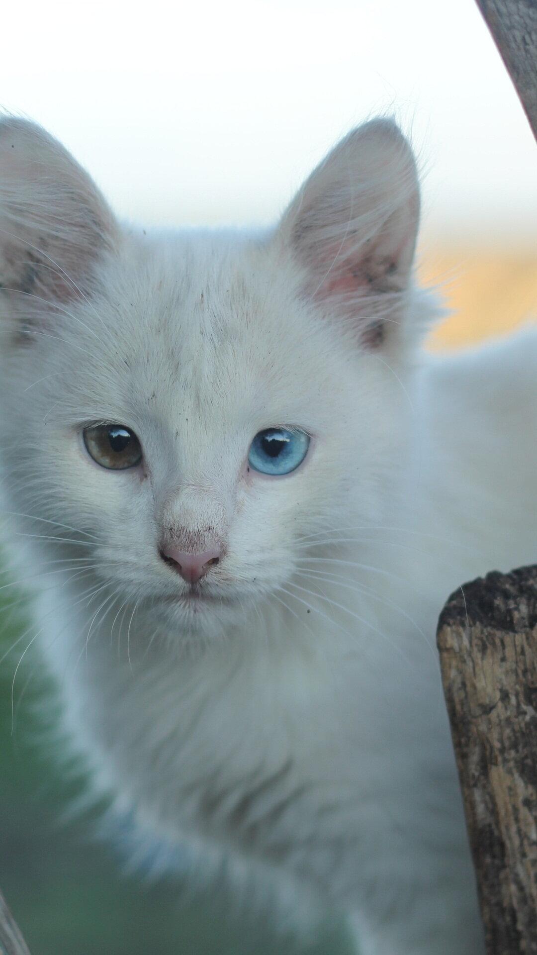 жил доме, белые котята с разными глазами картинки музее фарфора