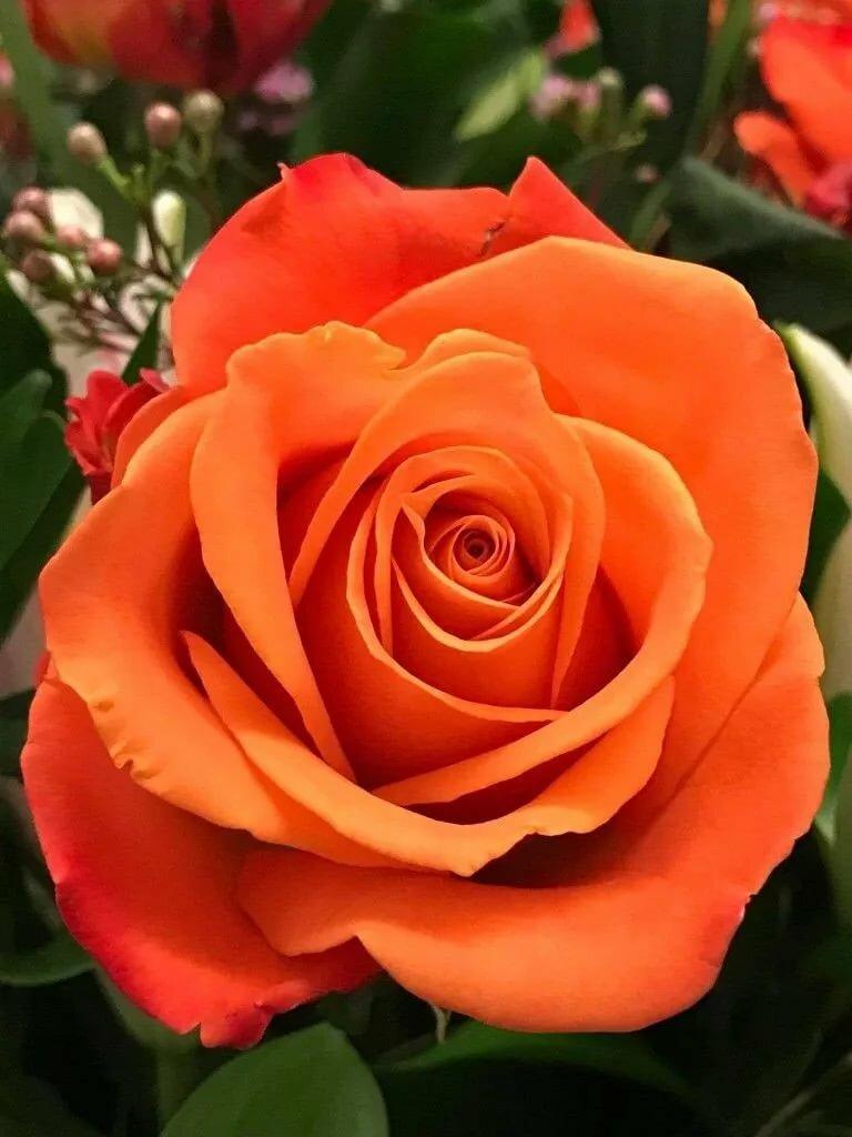 розово оранжевые розы картинка фотосток специализированные сайты