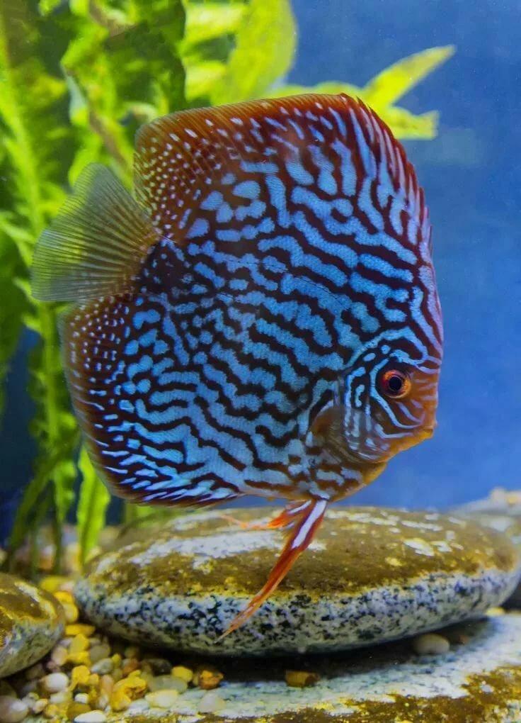 Фотографии аквариумных рыбок