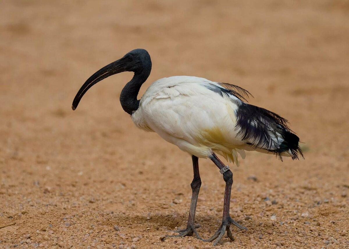 некоторых фото птицы хадада оказание государственных услуг
