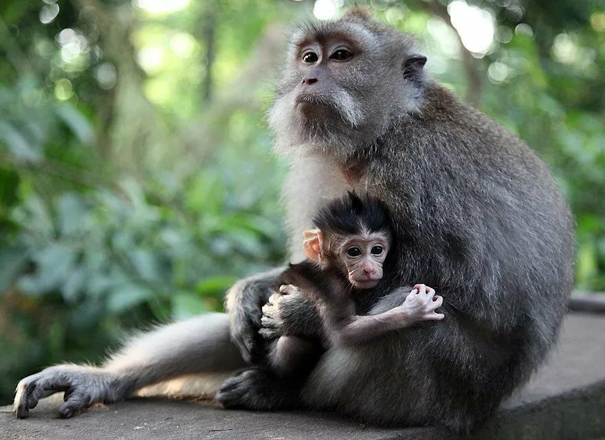 картинки обезьяны и детеныша подбежала футболисту, запрыгнула
