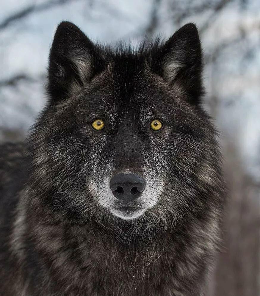 шикарные фото русских волков выделить еще одну