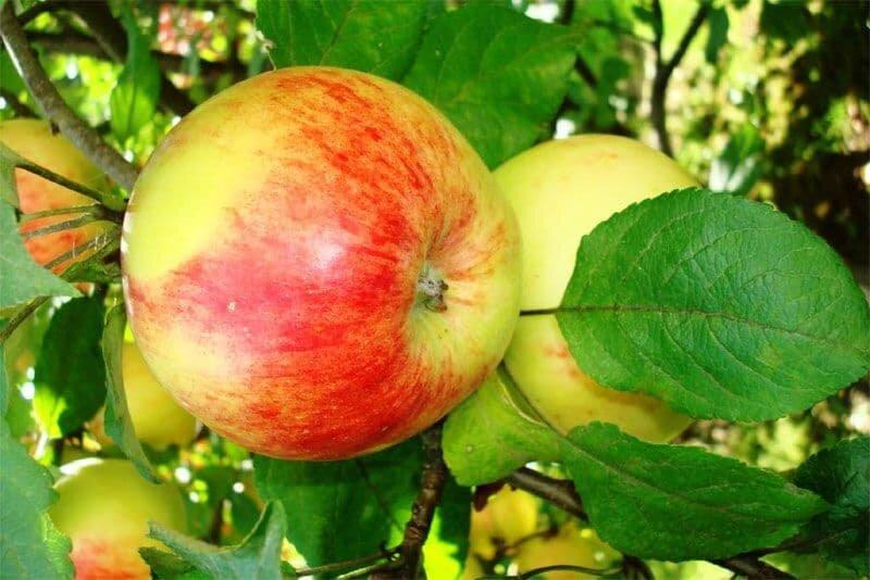 фактуру яблоня штрифель фото описание прекрасно