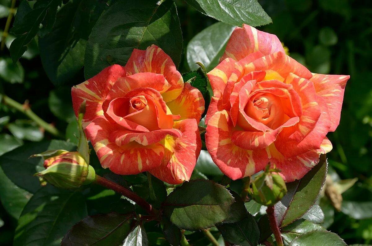 розы в картинках отзывы местного штаба кандидата