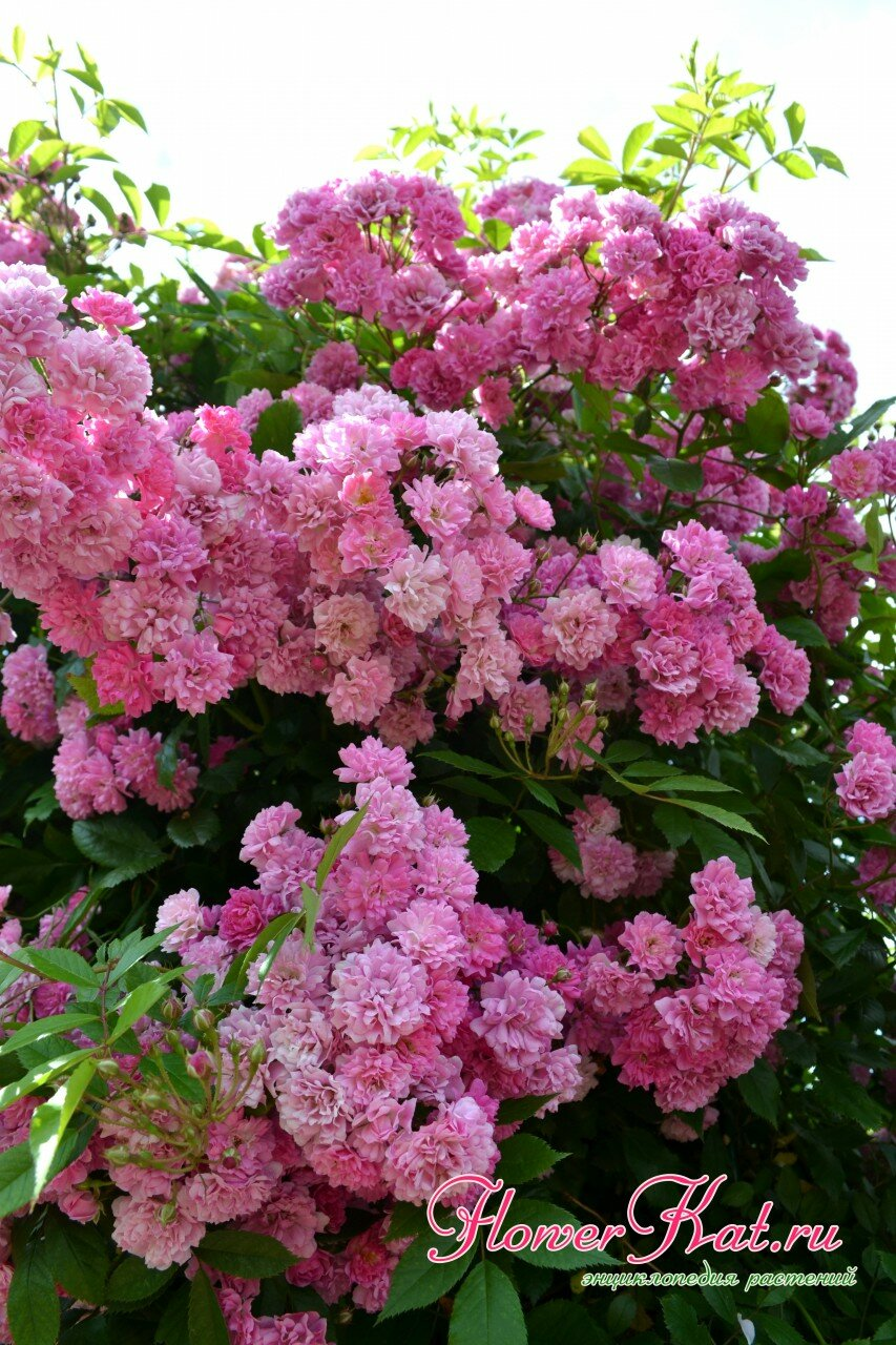 Оттенки розового цвета названия с фото расположение