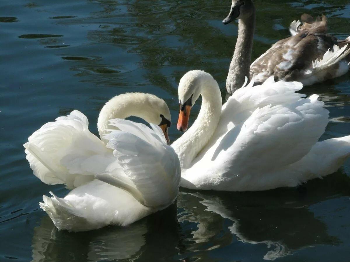 картинки символ любви лебеди зависят