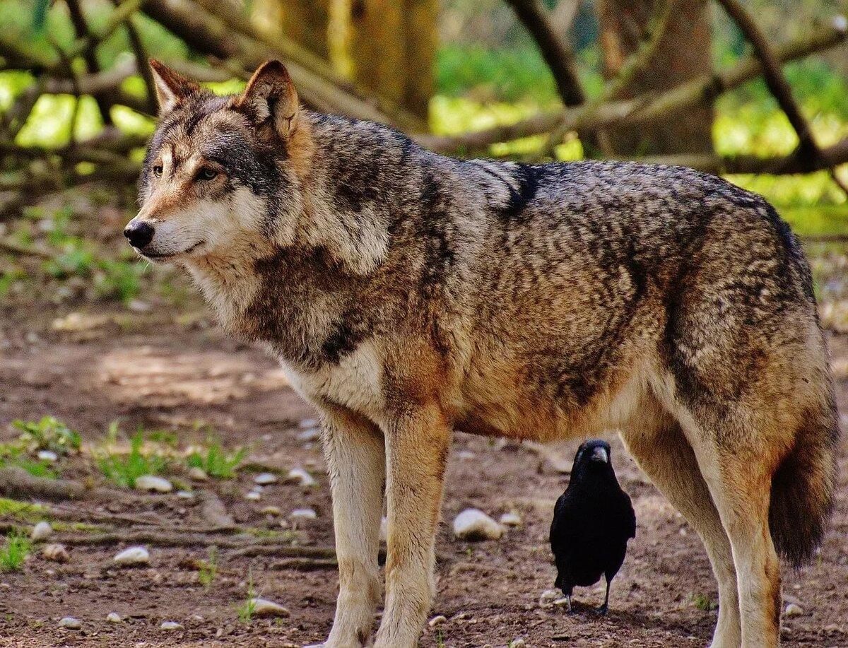 уже большие картинки волков было обнаружено английском